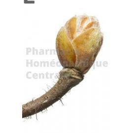 Noisetier – Bourgeon macérât bio Corylus avellana - macérât bourgeon - mère ou 1DH