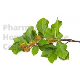 Hêtre bourgeons - pur ou dilution 1DH (au choix) - Pharmacie Homéopathique générale