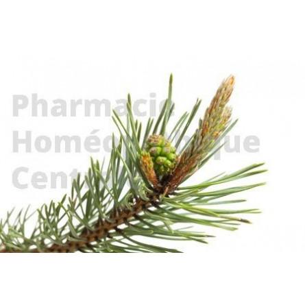 Le Pin sylvestre a des vertus antiseptiques pour les affections respiratoires avec toux grasse (bronchite, rhume...)