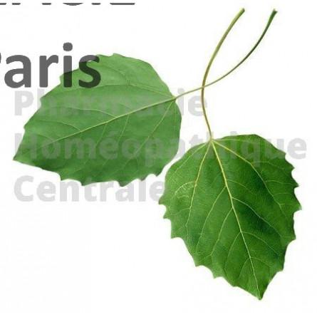 Le bourgeon de Peuplier est anti-infectieux et anti-inflammatoire sur le plan respiratoire.