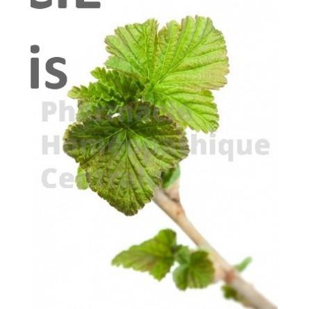 Cassis bourgeons -  pure ou dilution 1 DH  (au choix)