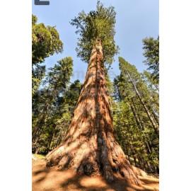 Sequoia - Bourgeons macérât bio