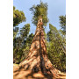 Sequoia bourgeons - pur ou dilution 1 DH ( au choix)