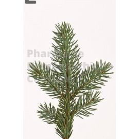 Sapin commun ou Sapin blanc, le Sapin pectiné (Abies pectinata en latin)