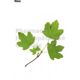 Erable champêtre – macérât de bourgeons bio